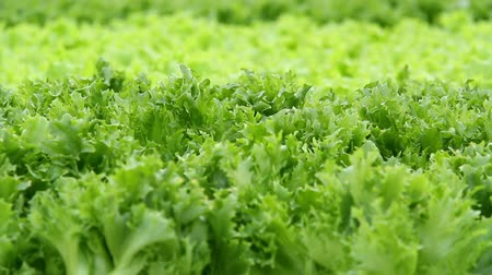 орошение : Lettuce in the greenhouse.Vegetable production on an industrial scale. Стоковые видеозаписи
