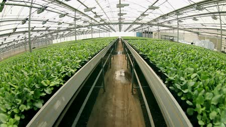 seedlings : Lettuce in the greenhouse.Vegetable production on an industrial scale. Stock Footage