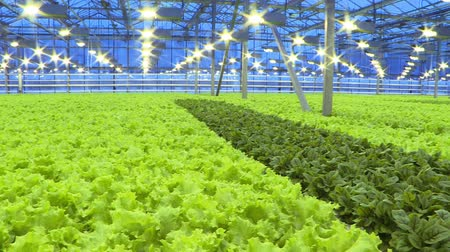 productontwikkeling : Cultivation of greens and vegetables in a greenhouse. Stockvideo