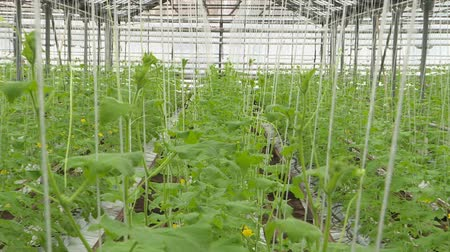 flower buds : Cultivation of greens and vegetables in a greenhouse. Stock Footage