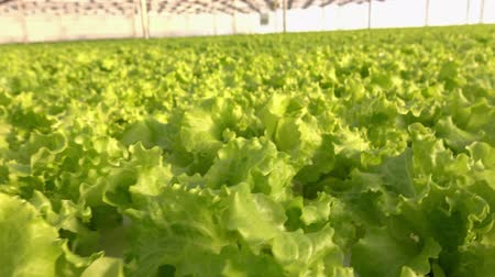 none : Growing vegetables in a greenhouse. Plantations of green salad.