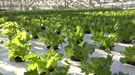 hydroponic : Growing vegetables in a greenhouse. Plantations of green salad.