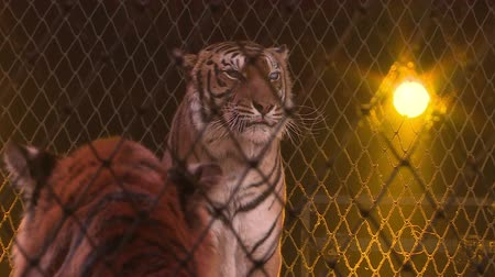 agrese : Tigers in a cage.Circus.
