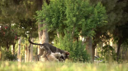 держит : Active puppies frolic on the grass, slow motion. puppy play together Стоковые видеозаписи
