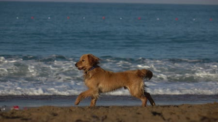 spanyel : Happy Cocker Spaniel at the beach. Sea coast. Slow motion. Stok Video