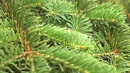 goes : green fir tree branch moving in the light wind breeze. Closeup.