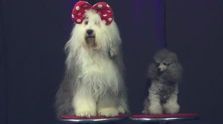 Two curious, well-mannered dogs sit in the center of attention, on a black background, portrait. Stock Footage