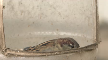 besleyici : Sparrows eat from the trough. Sparrows are a family of small passerine birds. Stok Video