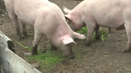 engorda : Two pigs in a pen. Pig farm. Stock Footage