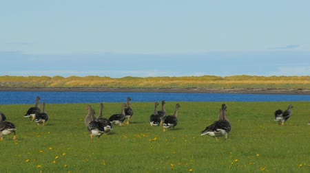 bean goose : wild geese are feeding on a meadow, bright green grass and yellow flowers near water