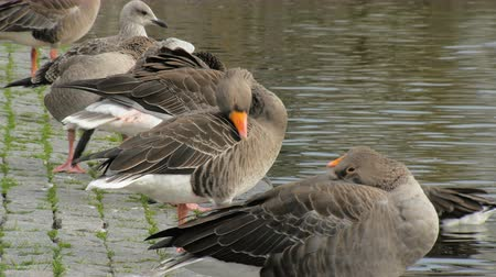 göç : flock of grey geese with bright yellow beaks,seating on embankment in city and cleaning feathers