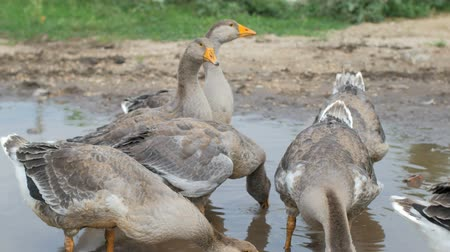 plash : group of grey geese are resting in rural puddle, summer day in village, hot weather Stock Footage