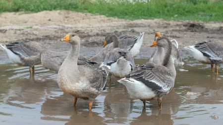 plash : domestic grey geese are drinking water from puddle in village, summer day