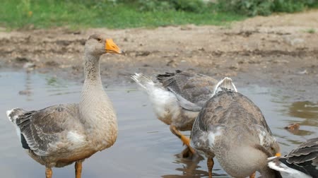 plash : calm rural scene, grey ducks are in puddle, daytime, summer