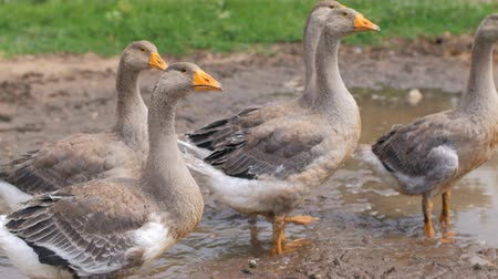 plash : large grey geese, looking to same side, walking in puddle