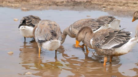 plash : grey geese are standing in puddle and cleaning feathers, waging tails, summer in village Stock Footage