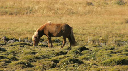 pónei : red icelandic horse with bright mane is grazing on a meadow in sunny day and walking out from frame