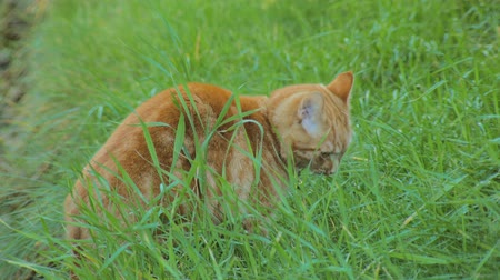 consumir : bright red cat is walking in yard and eating a grass, looking at camera, close-up