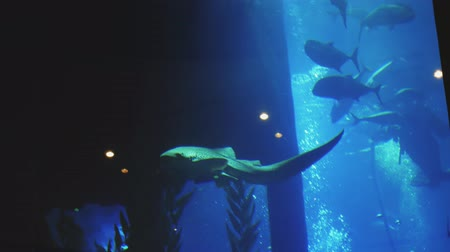 school of shark : big fishes are floating in a large aquarium Stock Footage