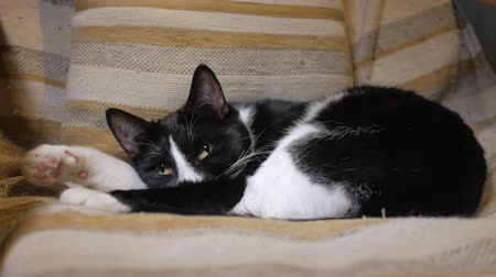 mourek : nice domestic cat is sleeping in cozy chair in home, black and white