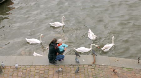 экологически : mother and her little child are feeding white wild swans, standing on city embankment