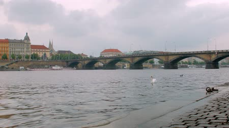 milost : white swan are floating near shore of Vltava river in Prague city