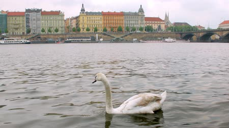 shores : wild swan is swimming on river in cloudy spring day in Prague