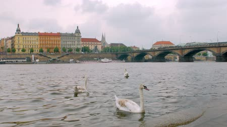 shores : wild swans are floating near coast of Prague city Stock Footage