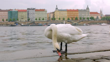 shores : calm white swan is standing on stone embankment in Prague in cloudy day