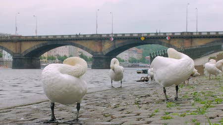 swans swimming : beautiful white swans are cleaning feather, standing on stone embankment in city in autumn day