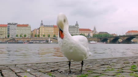 Богемия : funny swan is cleaning feather, standing on stone embankment in city in autumn day, Prague panorama