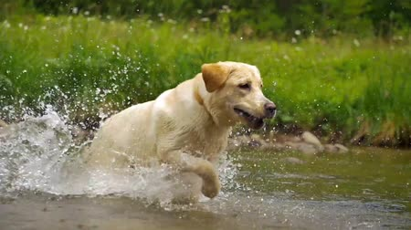 rescue dog : Labrador retriever in river Stock Footage