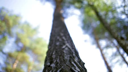pinho : trunk of a pine, pine bark, wood