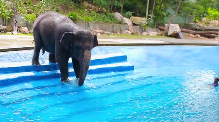 Elephant on the stairs goes into the pool with blue water Stock mozgókép