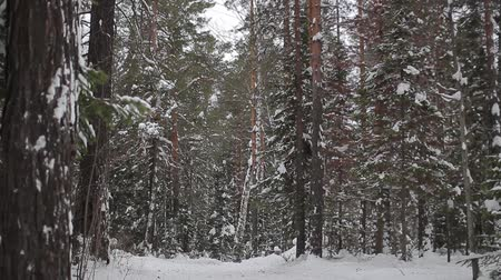 winter forest. taiga. Siberia. Trees