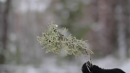 dry moss in the hand in the winter forest