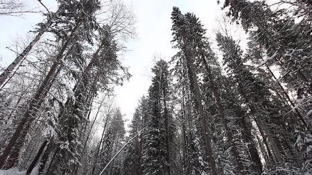 Beautiful winter forest in the taiga