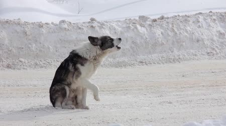 Street dogs or homeless dogs barks on the road Stock mozgókép