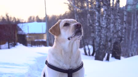 Lovely labrador retriever dog during dogs training sitting in snow. Stock mozgókép