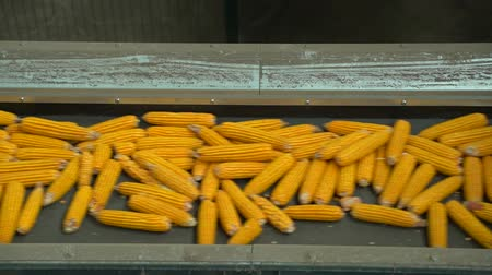 Golden corn is moving to conveyor HD