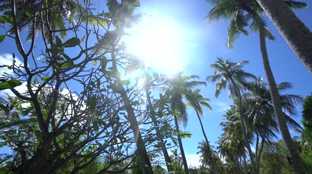 ladigue : Fantastic view to very high palms in Maldives from low angle use gimbal in sunny day behind trees 4K footage