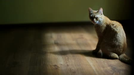 separado : Red cat sits in rays of morning light on wooden floor