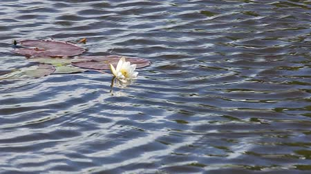gölcük : Water lily in a pond on the waves.  Stok Video