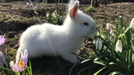Little white rabbit eats spring flowers. Holidays and animals. Concept of the Easter Stock mozgókép