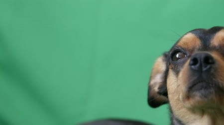 obediente : Black dog on green screen, ready for input, black chihuahua dog