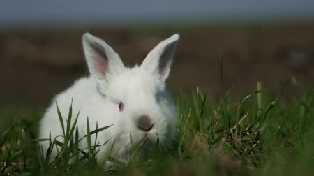 fofinho : White rabbit in spring green grass background Stock Footage