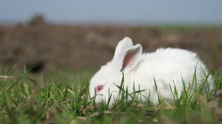 býložravý : White rabbit in spring green grass background Dostupné videozáznamy