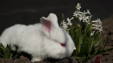 törpe : Little rabbit sits in white flowers, 4 in the video
