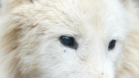 ハスキー : Close up of the wolfs blue eyes, white wolf