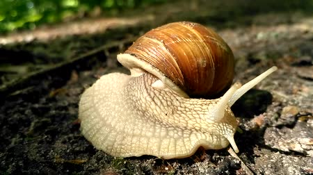 ekolojik : Snail crawling in the woods Stok Video